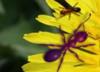 Skryté mravce